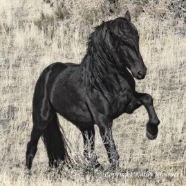 Black Stallion Midnight Star