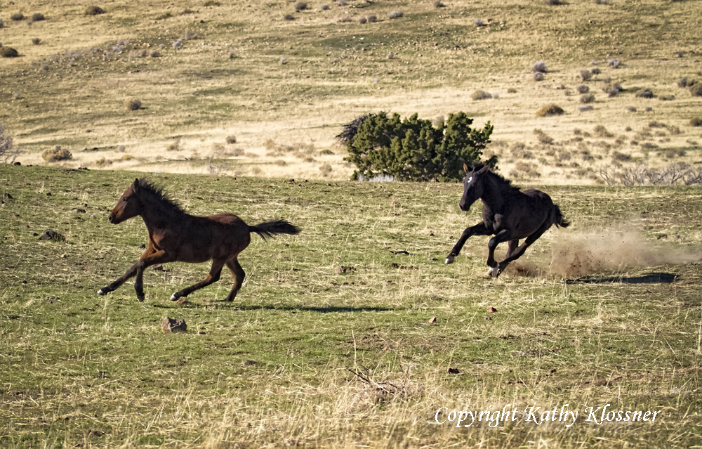 Mustang Horse Black Horse Page 4 Animals Baby Black Foals Photos Images Of Wild Black